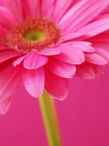 Roze is de kleur van de onvoorwaardelijke liefde