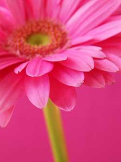 roze, de kleur van onvoorwaardelijke liefde