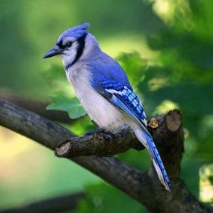 blauwe-vogel