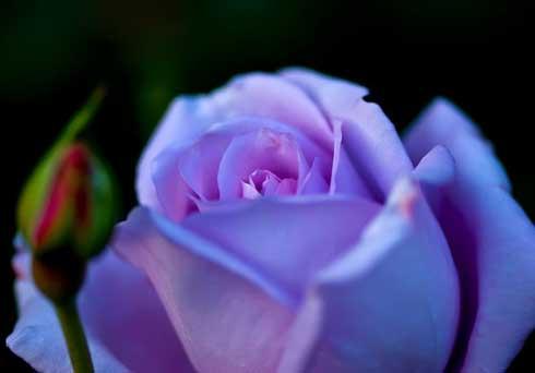 paarse-roos