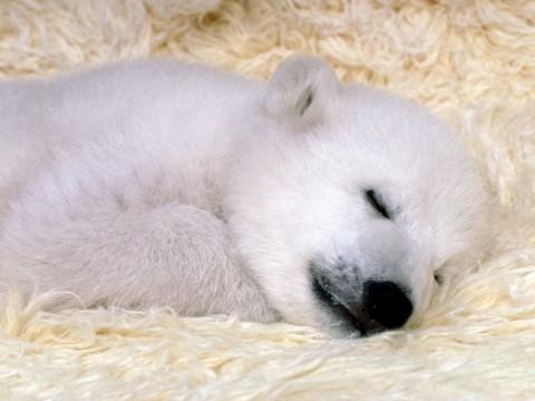 ijsbeer droomt