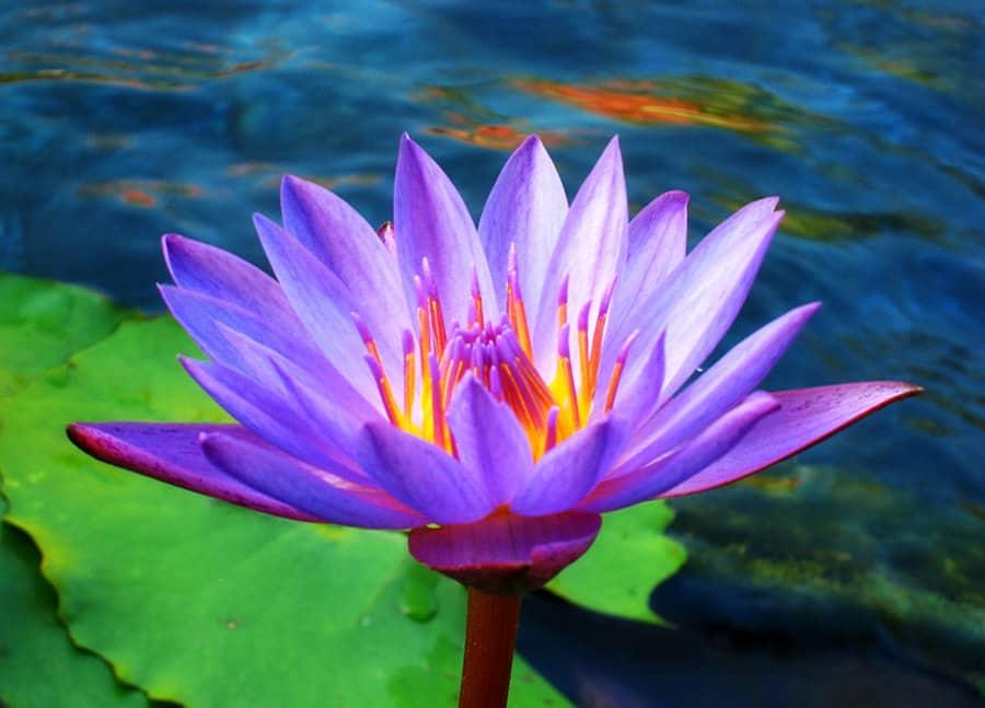 Lotus-bloem