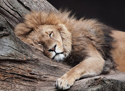 sleeping_lion_