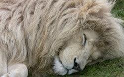 white_lion_sleep_wallpaper