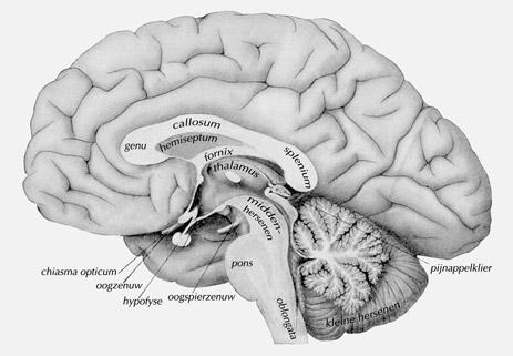 hersenen-en-pijnappelklier