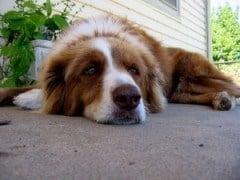 verveelde hond