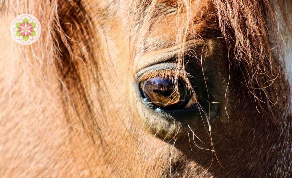 oog van paard